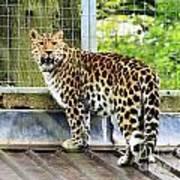 Leopard 3 Art Print