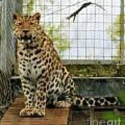 Leopard 4 Art Print