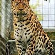 Leopard 6 Art Print