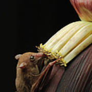 Lesser Long-tongued Fruit Bat Art Print
