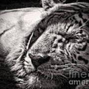 Let Sleeping Tiger Lie Art Print