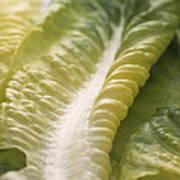 Lettuce Leaf Art Print by Sheila Terry