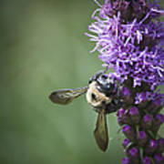 Liatris And Bee Squared 2 Art Print