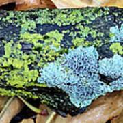 Lichen On Fallen Branch Art Print