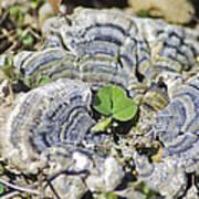Lichen The Shamrock Art Print