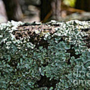 Lichens Lace Art Print