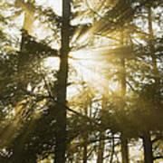 Light Beams Shining Through Trees And Fog Art Print