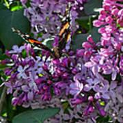 Lilac Butterfly Art Print