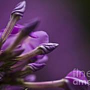 Lilac Spirals. Art Print