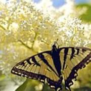 Swallowtail Lilac Spring Photo Art Print