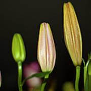 Lilies In A Row Art Print