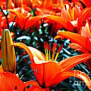 Lilies In Bloom Art Print