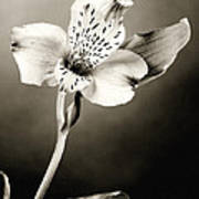 Lilly Flower B And W Art Print