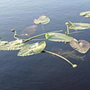 Lilly Pads Adrift Art Print