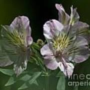 Lily - Liliaceae 3 Art Print
