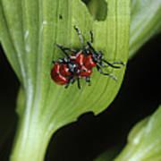 Lily Beetles Mating Art Print