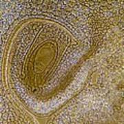 Lily Flower Ovary, Light Micrograph Art Print