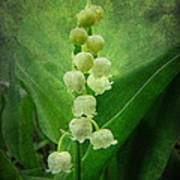 Lily Of The Valley - Convallaria Majalis Art Print