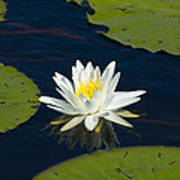 Lily Pad And Flower Art Print