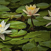 Lily Pads And Blossoms. No204 Art Print