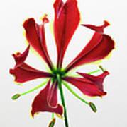 Lily Still Life 2 Art Print