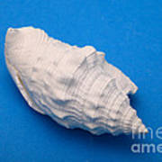 Lime Made From A Seashell Print by Ted Kinsman