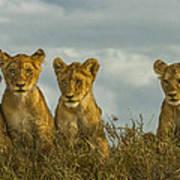 Lion Cubs Serengeti National Park Art Print