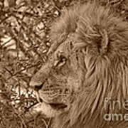 Lion Of Chobe Art Print