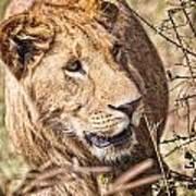Lioness Hiding Art Print