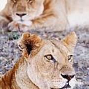 Lionesses Lying In Shade In Maasai Mara Art Print