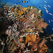 Lionfish, Indonesia Art Print