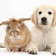 Lionhead-cross Rabbit And Golden Art Print