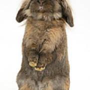 Lionhead Rabbit Art Print