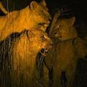 Lions At Night Art Print