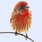 Little Beauty Male Finch I Art Print
