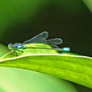 Little Dragonfly Art Print