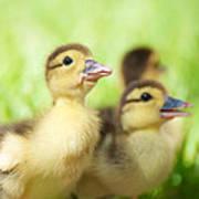 Little Duck. Art Print