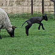 Little Lamb Playing Art Print