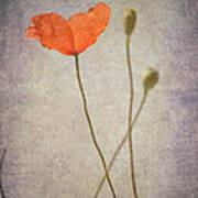 Little Poppy Art Print