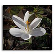 Little White Flower Art Print