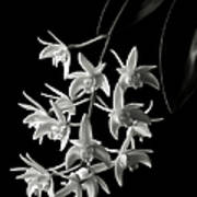 Little White Orchids In Black And White Art Print