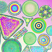 Lm Of Fossilized Diatoms Art Print