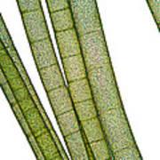 Lm Of Tubular Algae Print by Raul Gonzalez Perez