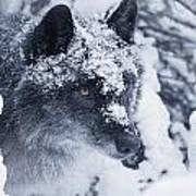 Lone Wolf In Snow Art Print