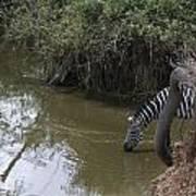 Lone Zebra At The Drinking Hole Art Print