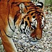 Lonely Tiger Art Print