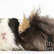 Long-haired Guinea Pigs Art Print