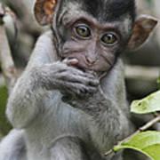 Long-tailed Macaque Macaca Fascicularis Art Print