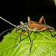 Longhorn Beetle Art Print