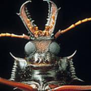 Longhorn Beetle Macrodontia Cervicornis Art Print